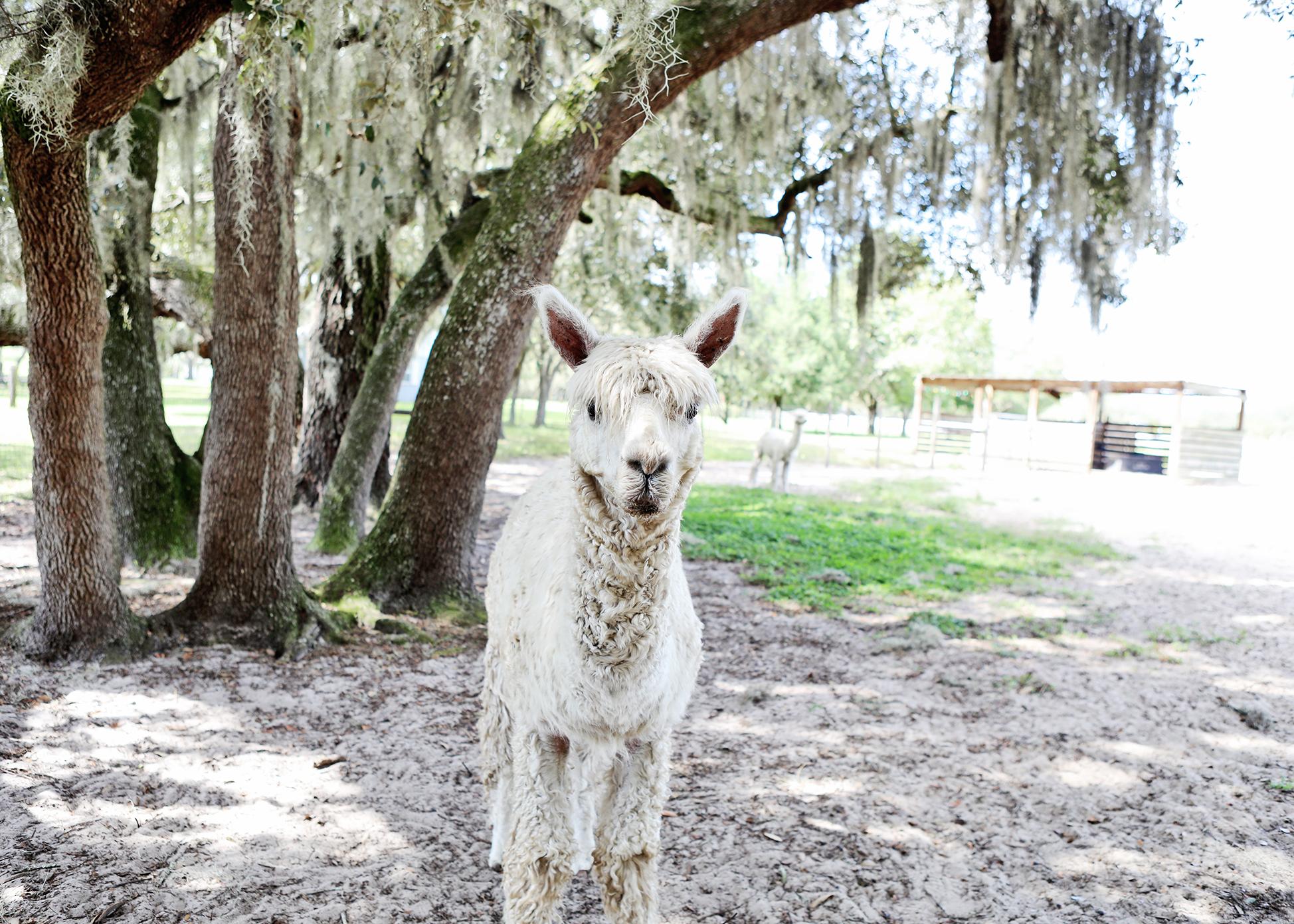 Alpacas in Orlando